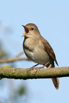 Common Nightingale