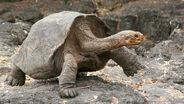 Galapagos-tortoise-large