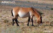 Horse, Przewalski's