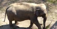 Smithsonian Zoo Elephant