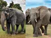 Asian Elephant and African Elephant Side by Side