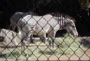 Grevy's zebra in denver zoo