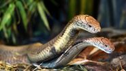 Male and female king cobras
