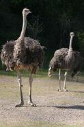 Ostrich LG
