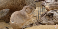 Smithsonian Zoo Prariedog