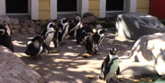 Tampa Lowry Park Zoo Penguins