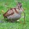 Woodcock, Eurasian