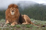 Barbary lion-4