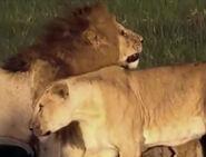 HugoSafari - Lion14