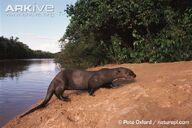 Otter, Giant