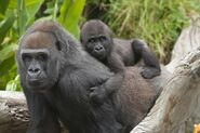 Western-lowland-gorilla-baby-and-mama