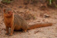 Dwarf+Mongoose+2+-+Wildlife+Portraits