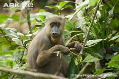 Female-mandrill-feeding