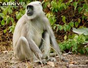 Gray-langur-sitting-on-the-ground