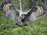 Great-Grey-Owl-Pictures