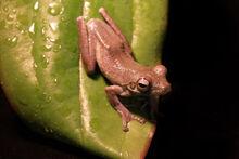 Rufous Foam-nest Tree Frog Chiromantis rufescens4