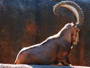 Male Nubian Ibex