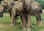 New-elephants
