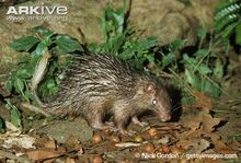 African-brush-tailed-porcupine-foraging