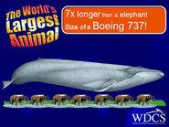 Blue Whale and 7 Asian Elephants