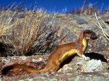 Long-tailed weasel nps