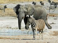 Photo-of-Zebra-Namibia-one-elephant-575x428
