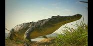 Serengeti Crocodile
