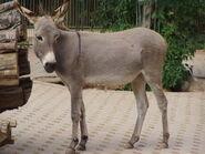 Donkey, Domestic
