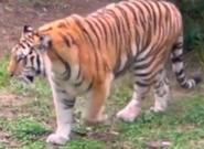 Okland Zoo Tiger