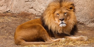 Racine Zoo African Lion