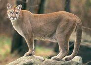 Soosy the Puma