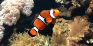 Columbus Zoo Clownfish