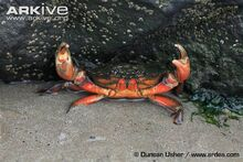Edible-crab-in-the-defence-position-on-seashore