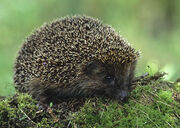 European hedgehog 1