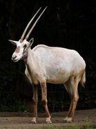 Oryx, Arabian