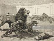 Panthera Leo Europaea