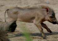 Chester Zoo Warthog