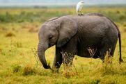Egret Elephant