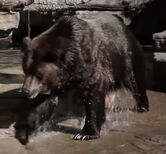 Grizzly bear in denver zoo