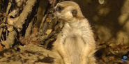 Memphis Zoo Meerkat
