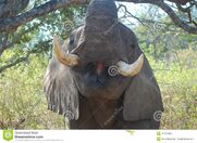 African-bush-elephant-loxodonta-africana-close-up-mouth-tusks-kruger-national-park-south-africa-40757358