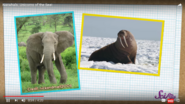 Animals That Have Tusks Like Narwhals Elephants and Walruses