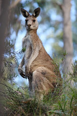 Eastern grey kangaroo dec07 02