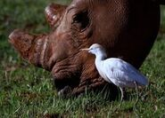 Egret and Dehorned Rhino