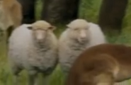 Evan Almighty Sheep