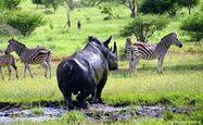 Four Zebras and One Rhinoceros