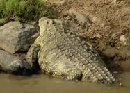 HugoSafari - Crocodile06