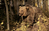 Large-Grizzly-Bear-photo