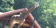 Pittsburgh Zoo Giraffe