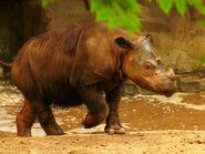 Rhinoceros, Sumatran